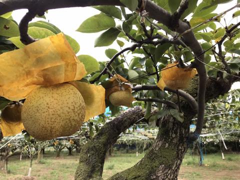 【白梨】3kg(4玉)☆時間指定可☆シャリ感のあるさわやかな甘さの梨です!【家庭用】