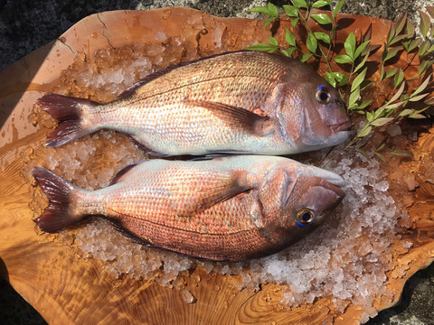 長崎県産養殖真鯛 1.5キロサイズ 2匹  鱗と内臓処理済み。熨斗付き可。