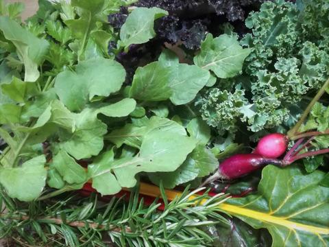 香り高い露地栽培のフレッシュハーブとルッコラセルバチカとおまかせ野菜のセット