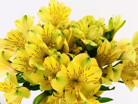 アルストロメリアの花束(10本 黄色メイン)