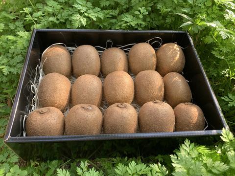 えっ⁉︎これがキウイ⁉︎食べてビックリ濃厚な味わい!極美味キウイフルーツ 竹 化粧箱入り 1kg(8〜16個)