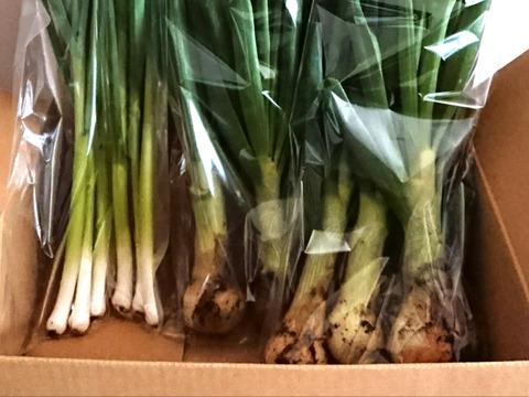 【農薬不使用】とろける葉玉ねぎ&薫る葉にんにく2種BOX!!2名での共同購入にも◎4/6(火)発送 限定3セット