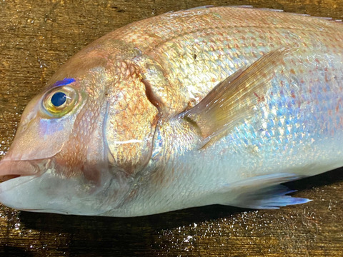 【瀬戸内海しまなみ産真鯛】 鯛の昆布締め刺身&切り身用短冊セット