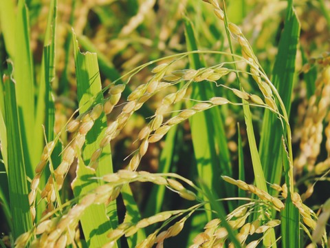 山形置賜飯豊【雪若丸 玄米5kg】令和2年秋収穫 2年連続特A 山形の新しいブランド米