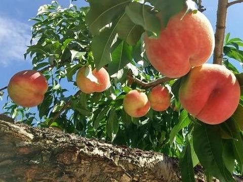 これぞ福島の桃!カリカリ食感と甘さが際立つ完熟あかつき とっておきの大玉2個