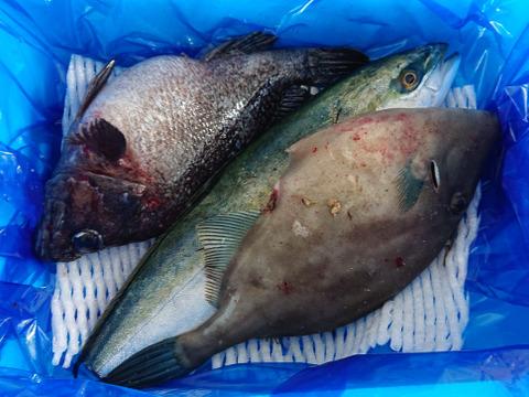 【新潟県粟島産】鮮魚BOX