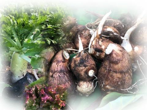再販売!採れたて里芋3kg【農薬・化学肥料不使用】+秋野菜付き