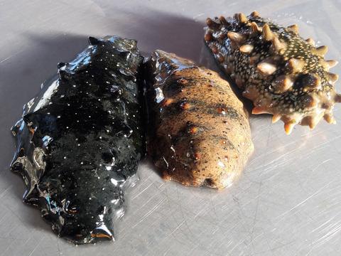 残り僅か!【3月限定販売】三陸産天然活なまこ500g コリっと美味しい東北の活ナマコ