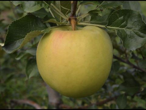 【先行予約】トキ ときめく甘さの黄色いりんご 家庭用 3kg