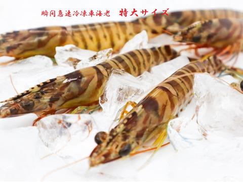 特大サイズ【活きの鮮度をそのまま】新鮮!活き〆瞬間急速冷凍 車えび 500g(12尾前後程度)刺身でも食べられます!