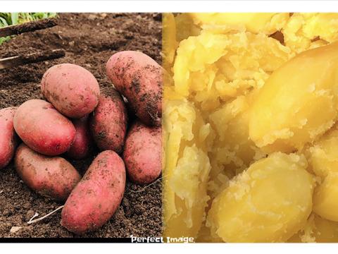 3種セット!農家の中でも『幻』の固定種『じゃがいも1.85kg』と『果汁パプリカ5個 』『黒ピーマン5個』夏野菜農薬不使用セット