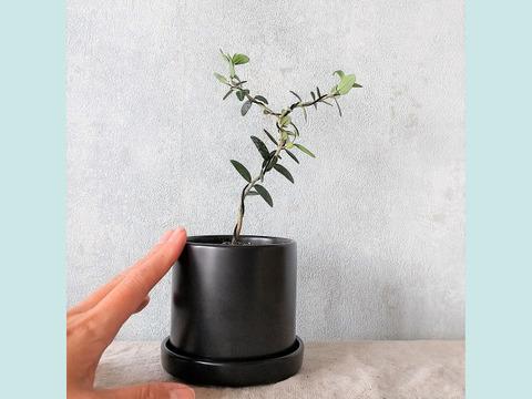 種から育てたオリーブ盆栽(PS120)
