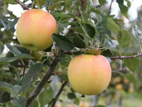 【先行予約】希少品種!蜜入りの黄色いりんご🍏 ぐんま名月 🍏2.5kg