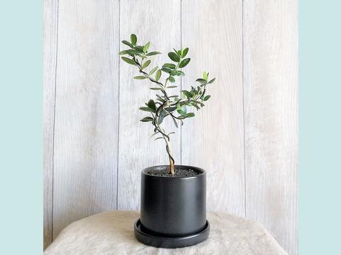 【母の日ギフトにも◎】種から育てたオリーブ盆栽(PS123)