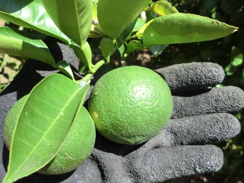 【お試しサイズ】種なしカボス 農薬不使用 1キロ 寒い季節にクエン酸たっぷり果汁