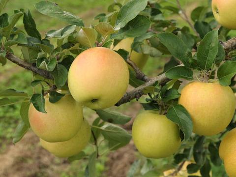 【先行予約】希少品種!蜜入りの黄色いりんご🍏 ぐんま名月 🍏4.5kg