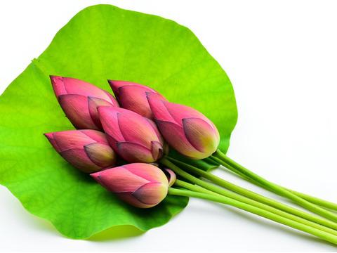【数量・季節限定】新鮮!蓮の花6本(切り花)【田んぼ直送!】