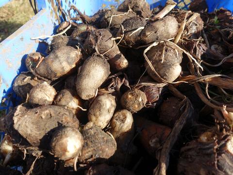 茨城県産 ねっとり 旨い 減農薬 サトイモ 女早生 1.5kg