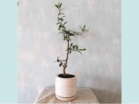 【ギフトにも◎】オリーブ盆栽 シプレッシーノ  (PS62)