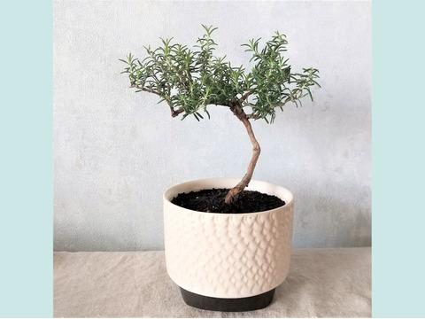 【食べられる盆栽】ローズマリー盆栽 サンタバーバラ (PS106)