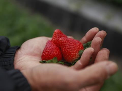 【無農薬・化学肥料不使用】いちご*紅ほっぺ*4パック