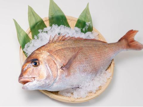 【TVで紹介!】丸っと1尾⭐︎真鯛をお届け(3~4人前)ウロコ・内蔵処理済(冷蔵)