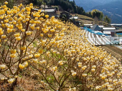 Lisaさん専用 『期間限定 今だけの香り』 ミツマタの花 プラス タラの芽3パック(規格外) 山里に春の訪れを告げる珍し花木と山菜の王様の組み合わせ
