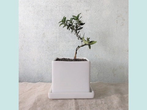種から育てたオリーブ盆栽(PS119)