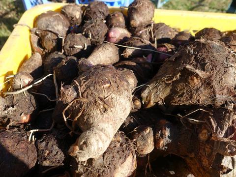 茨城県産 ねっとり 旨い 減農薬 サトイモ 赤芽 セレベス 1.5kg