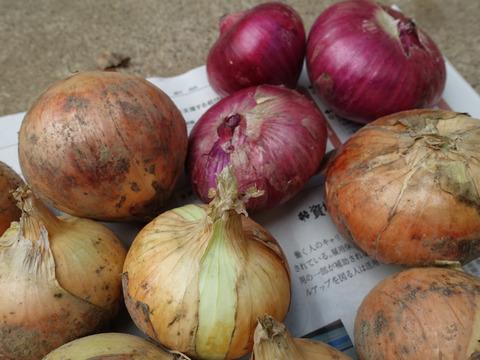 減農薬 新タマネギ  赤白 合計2kg程度 お徳用 甘み 旨みたっぷり 赤タマネギ2~4個程度入