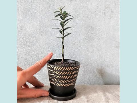 手のひらサイズ 種から育てたオリーブミニ盆栽(PS97)