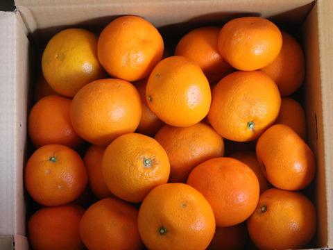 収穫順調〜  伊予の柑橘  「伊予柑」 お徳用   7kg
