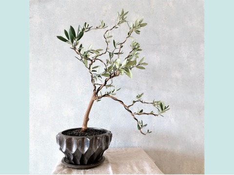 【ギフトにも◎】オリーブ盆栽 マンザニロ  (PS58)
