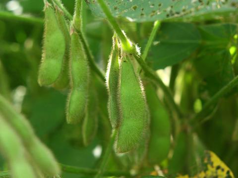 【無農薬・無肥料】小糸の在来枝豆 2kg(枝なし)