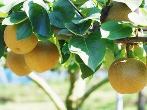 福島の梨!もぎたて完熟梨 おまかせ2kg(6~8玉) 幸水・豊水・南水