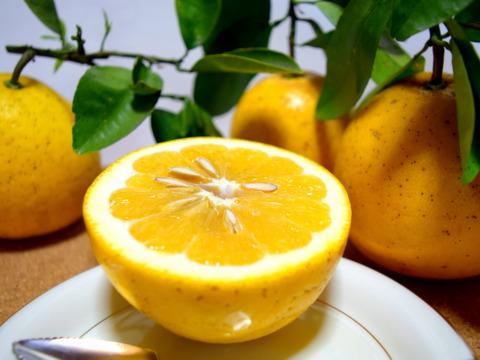 【タップリ果汁】右田さんちの河内晩柑(河内晩柑)4kg