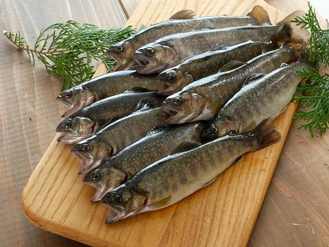 【活〆 いわな鮮魚 10尾】【注文後に水揚げ】【ゴミが出ません♪内臓処理済み】【鮮魚ならではの美味しさ】  注文確定後水揚げ  無投薬の美味しい岩魚 いわな鮮魚10尾