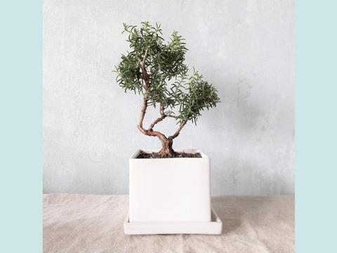 【食べられる盆栽】ローズマリー盆栽 サンタバーバラ (PS110)