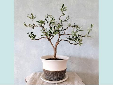 【ギフトにも◎】オリーブ盆栽 マンザニロ  (PS57)