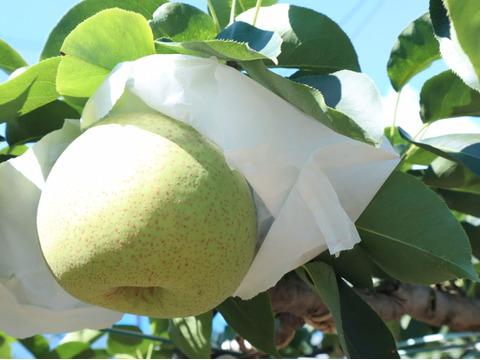 【かおり】3kg(8玉)☆時間指定可☆幻の梨!さわやかな甘さと香りが特徴です!【家庭用】