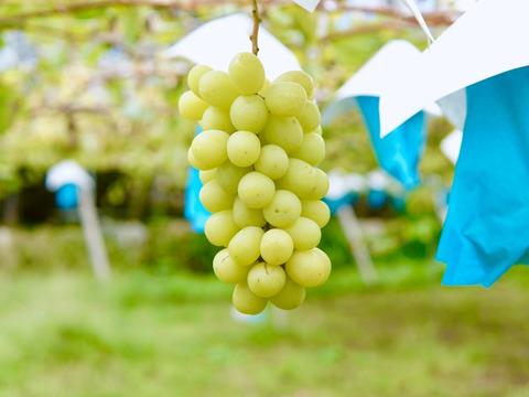 【クール便】収穫が始まりました!人気のシャインマスカットご家庭用 1.2kg(2房〜3房)