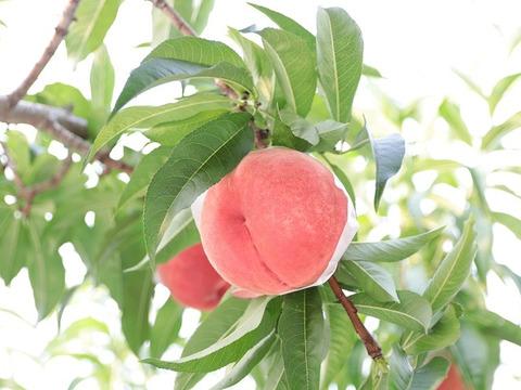 【予約販売】桃専業農家が暑い夏を届けます! 真夏桃 3kg