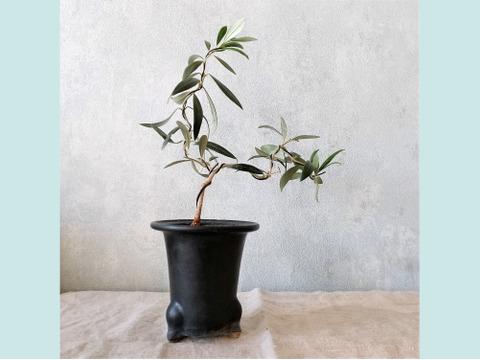【ギフトにも◎】オリーブ盆栽 アルベキーナ  (PS76)