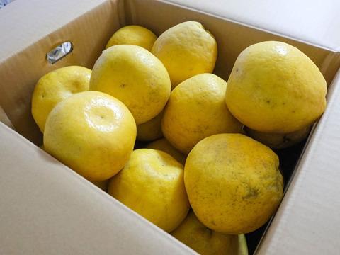 【9月中旬まで】河内晩柑 [M〜2L] 10kg(約30個)