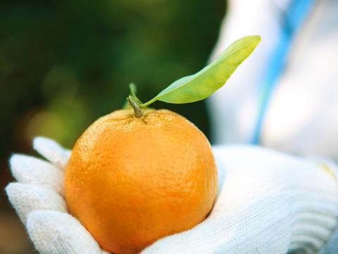 爽やかな酸味と甘みをギュッと、濃厚なぽんかんをあなたの元へ。(3kgL~2L秀品)