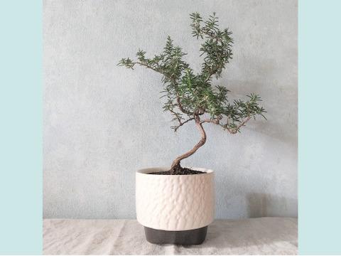 【食べられる盆栽】ローズマリー盆栽 サンタバーバラ (PS90)