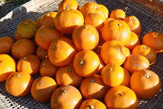自然栽培(無農薬・無施肥) 金の蜜柑5kg 熊本産
