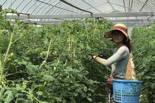 有機ミニトマト【サンチェリーピュアプラス】1kg