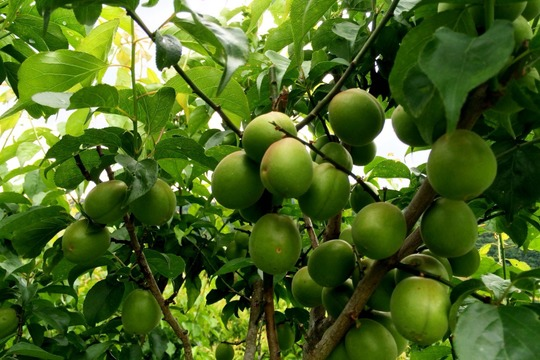 【期間限定】自然栽培の青梅1kg (徳島県阿波市日開谷産)