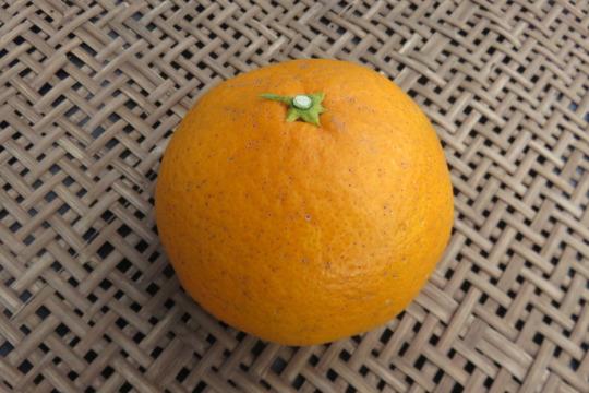 【自家用】清見オレンジ*5kg